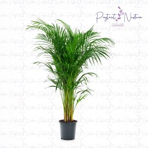 Dypsis lutescens Areca palm