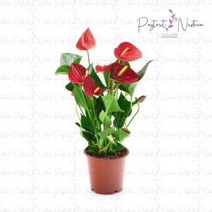 Anthurium Success Red