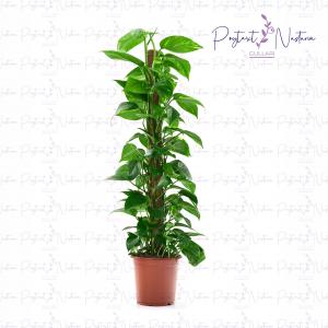 Epipremnum pinnatum ...moss stick