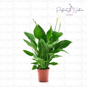 Spathiphyllum Sweet Lauretta